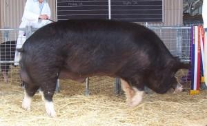 A prize Berkshire boar