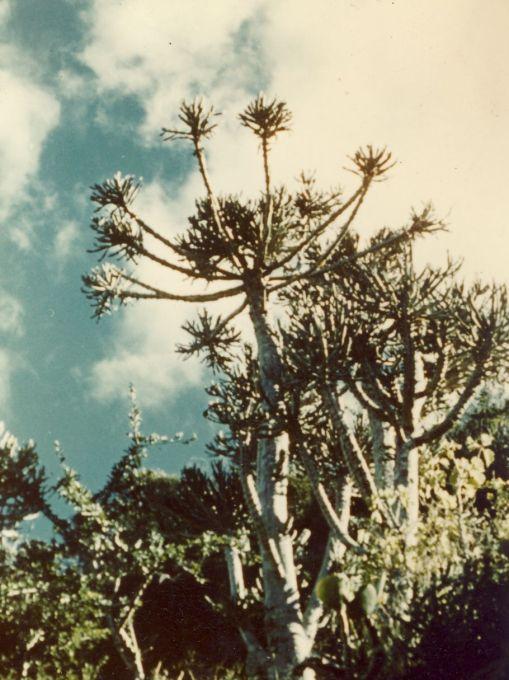 Euphorbias near Buntingville